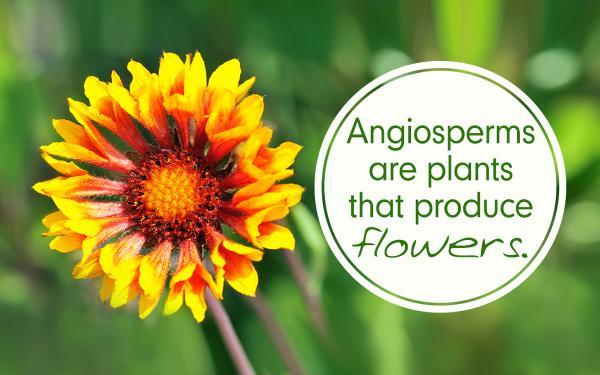 Angiosperm Là Gì